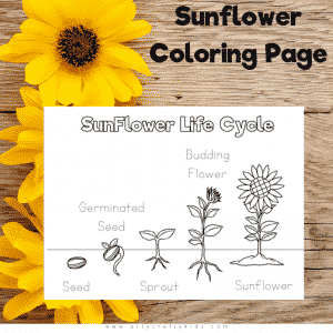Sunflower Life Cycle Coloring Page for Kids